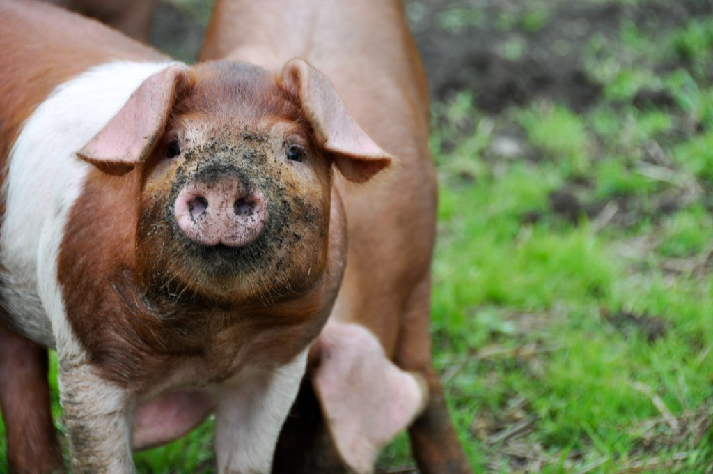 little piglet with a dirty snout looking at the camera